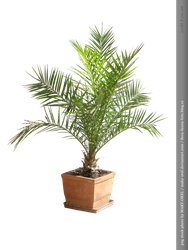 PNG STOCK: Palm tree by MAKY-OREL