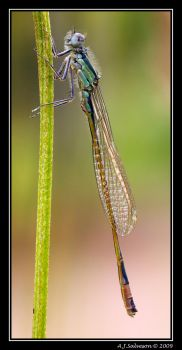 Damselfly by andy-j-s