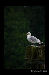 lonely gull by RSphotoArt