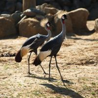 African Crowned Cranes by FurLined