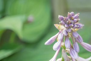 More Hosta Flowers Coming Into Bud by ianwh