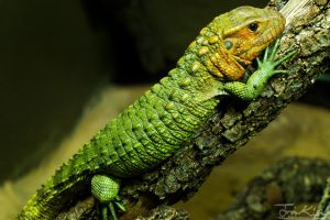 Spiked Green Lizard by JKase911