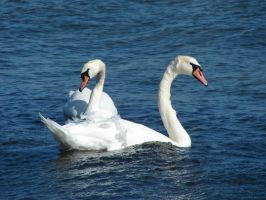 One sea, two swans by Cyklopi