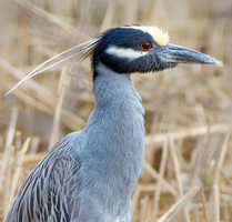 Yellow-crowned night heron 001 by Elluka-brendmer