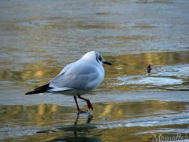 Seagull on frozen water by Momotte2