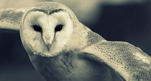 Barn Owl by philbertk