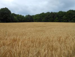 Cornfield wheat field stock 1 by LittleOph