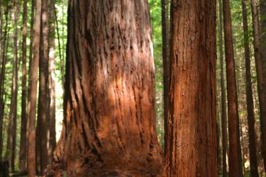 Redwood Forest by Warbear777