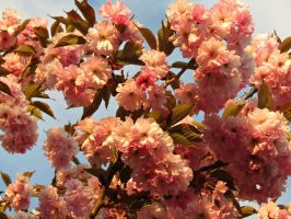 Japanese Cherry in the Sun (2) by Michies-Photographyy