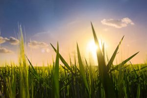 Fields before Sunset by IHEA