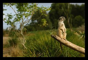 Meerkat in the wild by wiltz