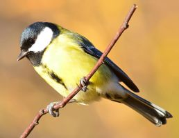 Great Tit VI by nordfold