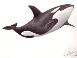Killer Whale by uphiee