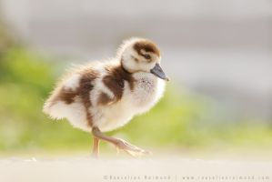 Gosling by thrumyeye