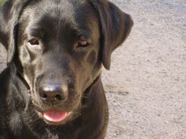 Labrador Retriever by silvershadoww