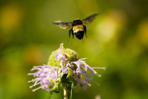 Flight of the Bumblebee by photosynthetique