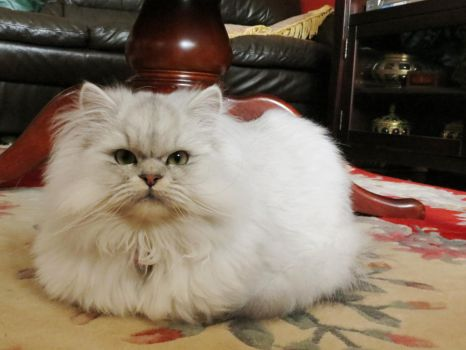 Toby the Persian Kitty by Kitteh-Pawz