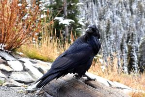 Northern Raven by WildCodyPhotography