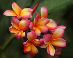 More Plumeria. by Firey-Sunset