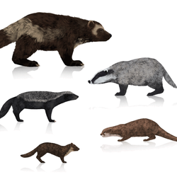 How to draw wolverines, badgers, otters and marten by MonikaZagrobelna