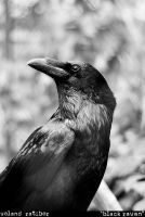 Black raven by voland14