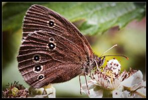 Constrasted Ringlet by Wivelrod