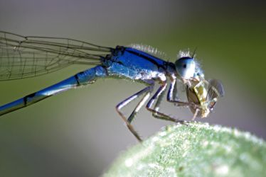 Dinner for Damselfly by flavorpacket