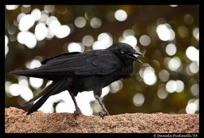 Posing Raven by TVD-Photography