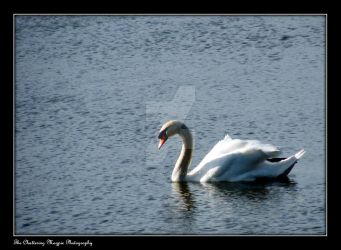 Swan (DSCF3942d) by Chattering-Magpie