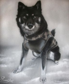 Pomsky in Plaid - Charcoal Commission by secrets-of-the-pen
