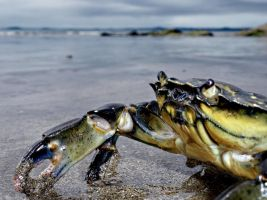 Crab @ Broadhaven by bullispace