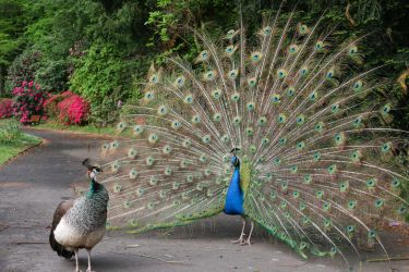 Lady and Sir peacock by SP4RTI4TE