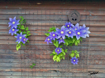 Clematis by WhenPigsFry