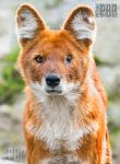 The Wounded Dhole by PictureByPali