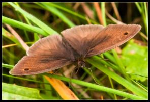 Brown Butterfly by Wivelrod