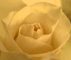 Butter Rose ID by Entomologia