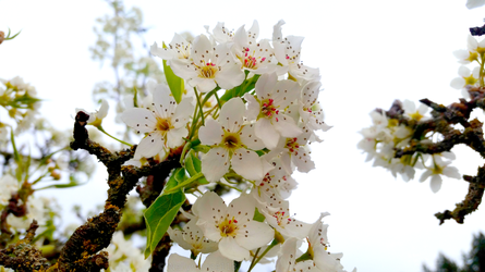 White Cherry Blossoms by Nellymoose118
