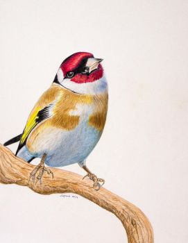Gold Finch by Supach
