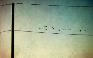 Geese by netherl
