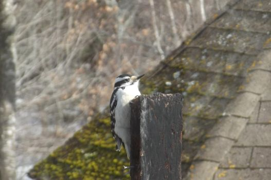 Female Downy Woodpecker by allixson