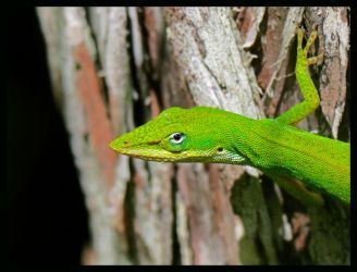 Green Anole by RedPangolin