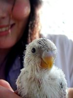 Baby Budgie by LyricalLies18