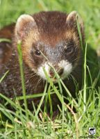 Nose-to-weasel by jaffa-tamarin