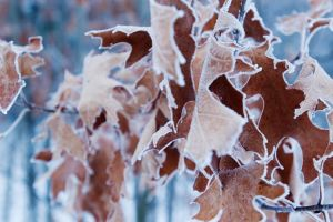 frosted leaves by BrianWolfe