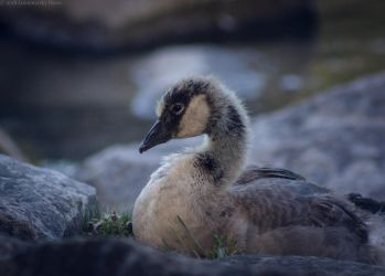 Canadian Gosling by Lumimyrskydawn