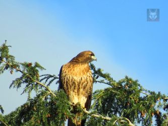 Red Tail Resting by wolfwings1