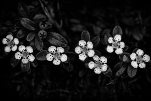 Bearberry Flowers by yume-no-yukari-photo