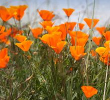 Early California Poppies by zootnik