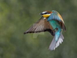 European Bee-eater- taking to the air by Jamie-MacArthur