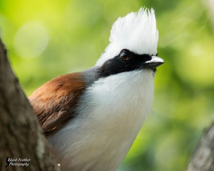 White-crested Laughing Thrush by EdgedFeather